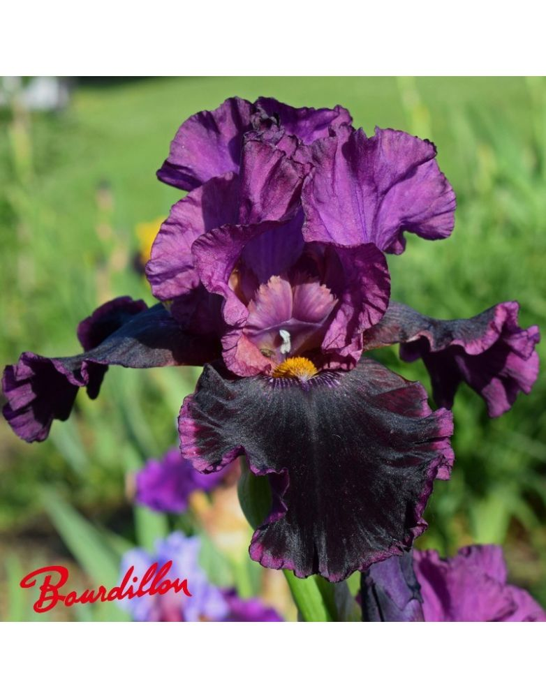 Iris : Sooner Serenade